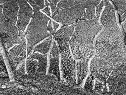 Dancing trees (Lake District)