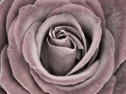 A rose_1